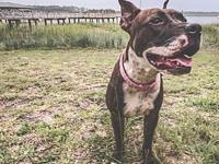 My story Beatrice is a female year old pit mix. She is