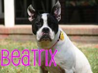 "Beatrix is a wonderful ""MegaBoston"" rescued from PAWS."