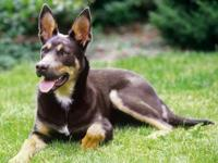 Meet Beau, he is a purebred Kelpie male approx 2 yrs