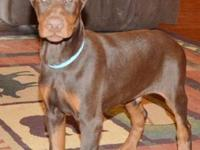 Beau is a red/rust Champion World Winner sired Doberman