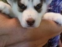 I have 2 Beautiful Siberian Husky Puppies left 2