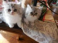 Beautifil  Shaded Silver/White CFA Persian kittens