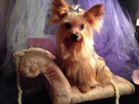 ABSOLUTELY (1) year old YORKSHIRE TERRIER FEMALE OWNER