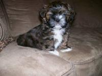 AKC SHIHTZU - Male - Absolutely beautiful markings and