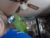 very sweet and tame mini macaw,does talk and will come
