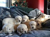 Beautiful AKC registered Golden Retriever puppies