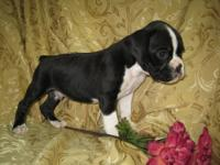 Beautiful 1/2 euro boxer babies. Extremely friendly and
