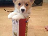 We have 4 Pembroke Welsh Corgi puppies for good homes.