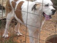 Beautiful 1 yr. old female CKC registered St. Bernard.