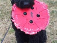 Chalrie is a beautiful 10 month old black goldendoodle.