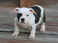 awesome super bully female with thick bone and super