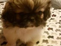 Have 2 beautiful Pekingese looking for there forever