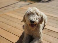 Osa is a beautiful Female Purebreed Labradoodle. We