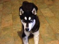 Beautiful 2 Year Old Male Siberian Husky (Florence,