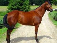 2007 quarter horse bay filly for sale. Ready to go in