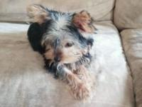 He's a beautiful Yorkie that will be 3.5-4lbs full
