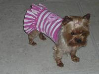 Sugar is a 4 year old, 5 lb. girl. She has a gorgeous