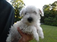 We have a few 8 Week Old Male & Female AKC Westie pups