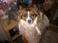 Pure Bred Female Papillon, speyed, white with large