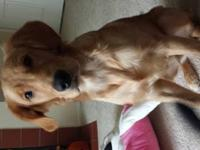 We have a beautiful 8 month old golden retriever who is