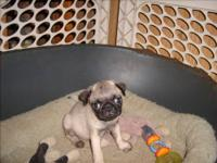 i have 1 male and 1 female akc registered pugs. they