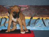 We have AKC Boxer Puppies starting at $625.00!!! Don't