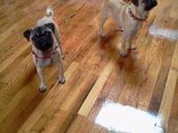 These are adorable 9 mth old pugs all raised indoors.