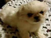 Have 3 beautiful Pekingese looking for there forever