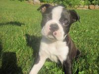 This is one of the two male Boston Terrier puppies we