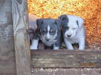I have for sale 6 Gorgeous blue pitbull puppies. 3