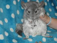 Gorgeous happy chinchillas available only due to more