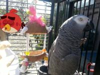 I have a five year old Female Conga African Grey that I