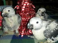 I have Very Very Sweet Congo African Grey Babies & &