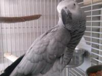 Gorgeous African Grey Parrot (Female ) Her name is