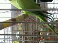 I have a beautiful African Ring Neck Parakeet that I