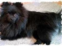Bella is a beautiful, black, AKC,1 years of age female.
