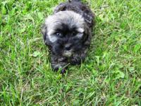 ?Lucy? is a beautiful Havanese female puppy. She is