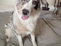 ~Emma~ Aussie Shepherd Blue Merle AKC Registered 1