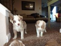 Gorgeous Australian Shepherd young puppies. 4 Red Merle