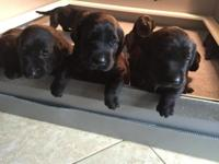 Beautiful AKC Black Lab puppies. Males & Females