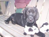 Beautiful AKC Black Male Labrador Retriever puppy who