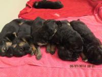 These are lovely AKC German Shepherd puppies!
