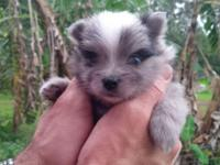 Rare blue-eyed, blue merle pomeranian born March 9th