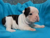 Have one beautiful AKC Boston Terrier male puppy. We