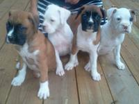 Beautiful 8 week old AKC Boxer Puppies. 2 Fawn & Flash.