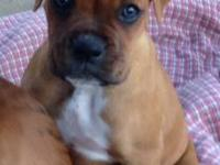 All of our Beautiful Boxers are Fully AKC registered