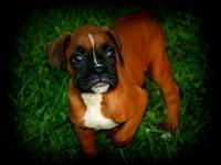 We currently have a litter of AKC Boxer puppies for