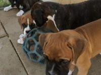 Beautiful, Large AKC Boxer Puppies Flashy dark brindles