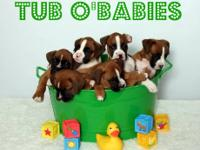 Beautiful AKC Boxer Puppies are Now Available *Updated