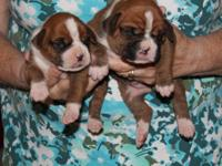 Readily available stunning AKC boxer pups, fawn flashy,